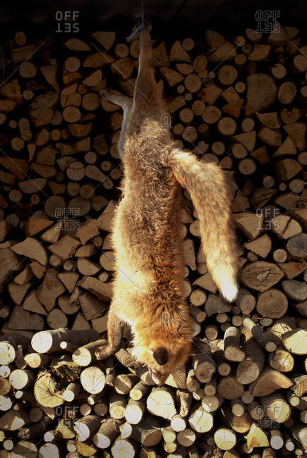 Red fox hanging by firewood