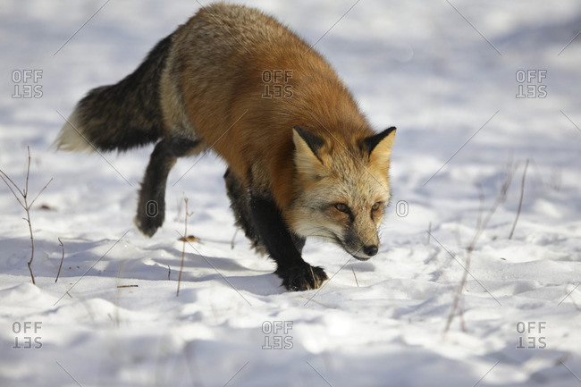 A red fox stalking in snow