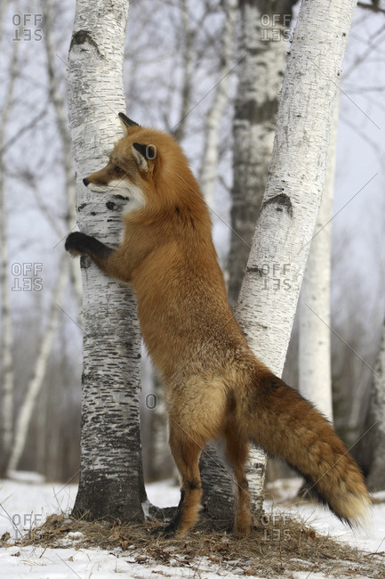 Red fox scratching a tree