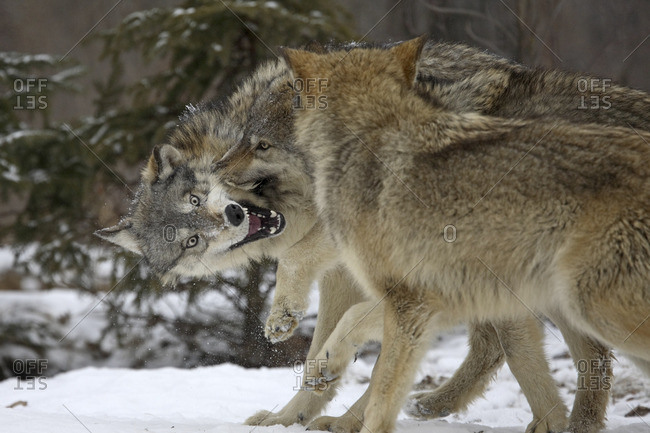 Timberwolves biting each other