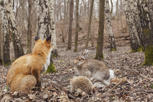 Sweden, Sodermanland, Stockholm, Fox, hare and hedgehog in forest