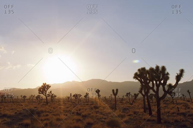 USA, California, Joshua Tree National Park, Joshua Trees at sunset
