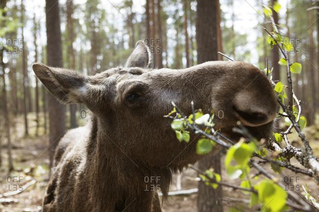 Sweden, Dalarna, Close-up of moose