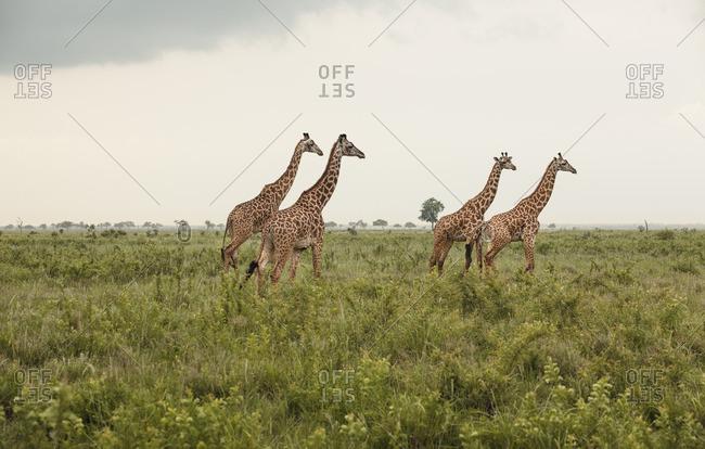 Africa, Tanzania, Mikumi national park, Giraffes (Giraffa camelopardalis) in savannah
