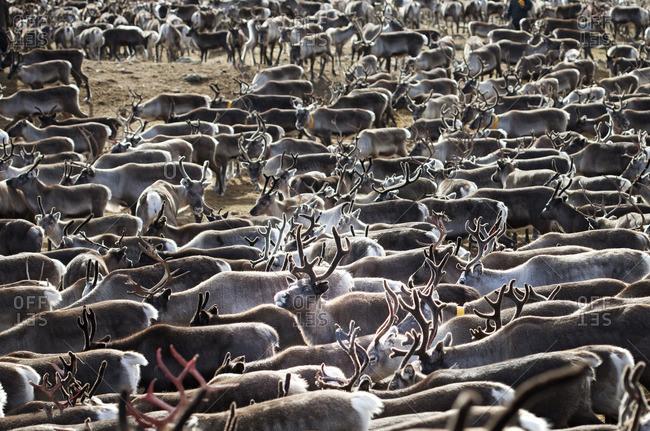 Sweden, Lapland, Levas, Herd of reindeer (Rangifer tarandus) in autumn