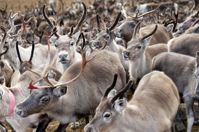 Sweden, Lapland, Levas, Herd of reindeer (Rangifer tarandus)