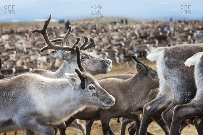 Sweden, Lapland, Levas, Close-up of herd of reindeer (Rangifer tarandus)