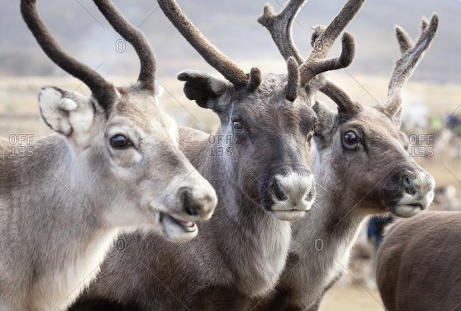 Sweden, Lapland, Levas, Portrait of three reindeer (Rangifer tarandus)