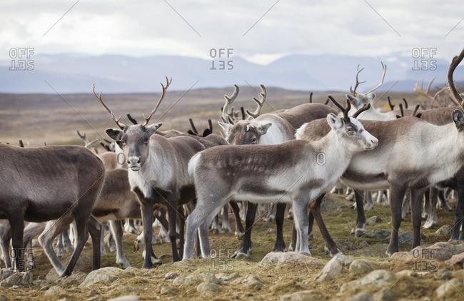 Sweden, Lapland, Levas, Herd of reindeer (Rangifer tarandus) standing in wild