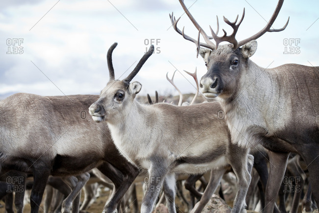 Sweden, Lapland, Levas, Close- up of reindeer (Rangifer tarandus) walking in wild
