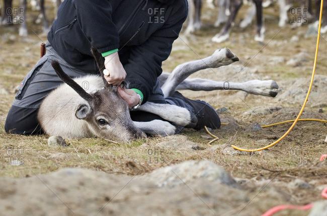 Sweden, Lapland, Levas, Man tagging reindeer (Rangifer tarandus) in wild