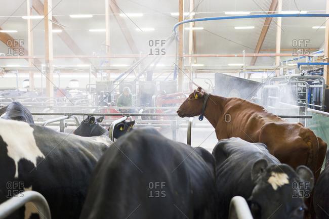 Sweden, Ostergotland, Bleckenstad, Cows in dairy farm