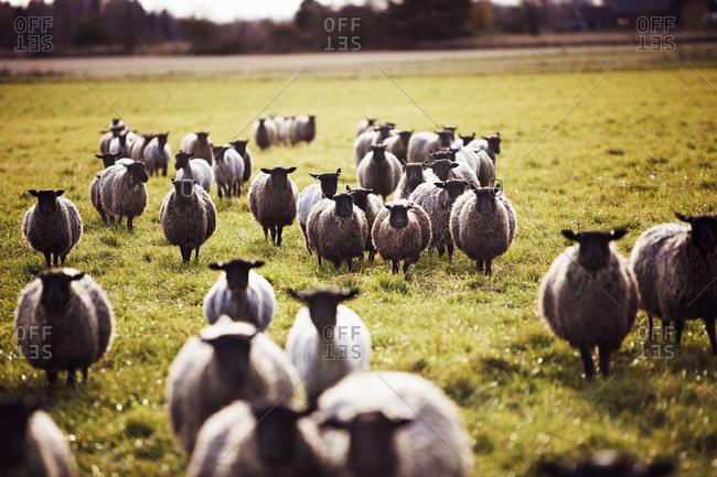 Sweden, Ostergotland, Flock of sheep in pasture