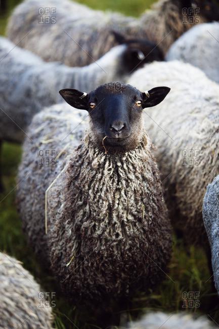 Sweden, Ostergotland, Sheep looking at camera