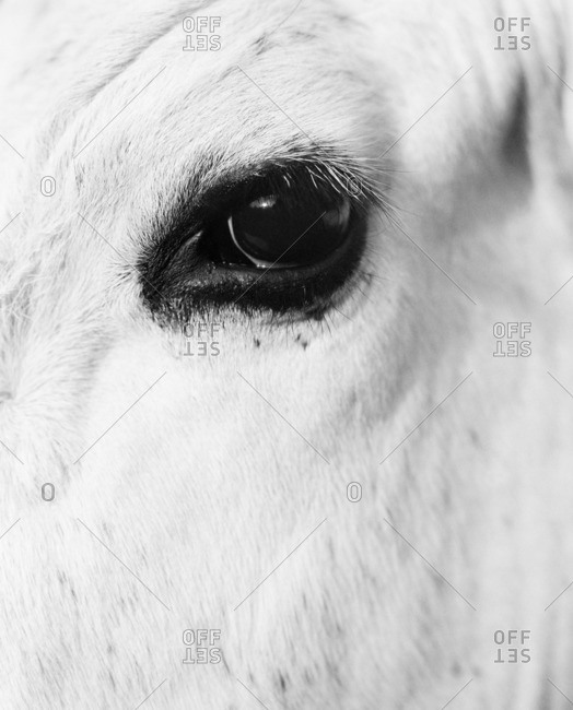 Sweden, Dalarna, Furudal, Aterasen, Close-up view of animal eye