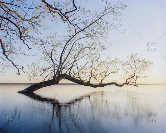 Sweden, Skane, Willow tree submerged in lake