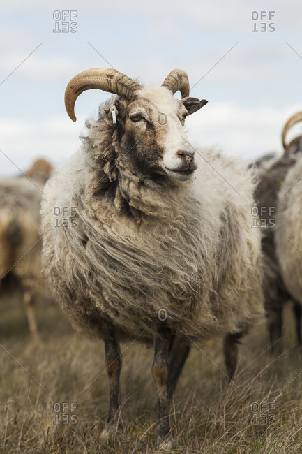 Sweden, Gotland, Front view of sheep on meadow