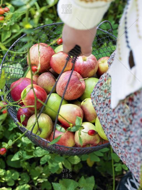 Sweden, Woman carrying metal basket full of apples