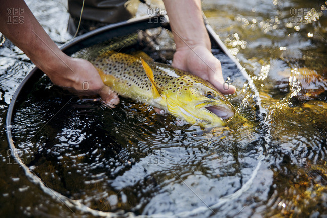 Finland, Etela-Suomen laani, Close-up of man holding fish above net in river