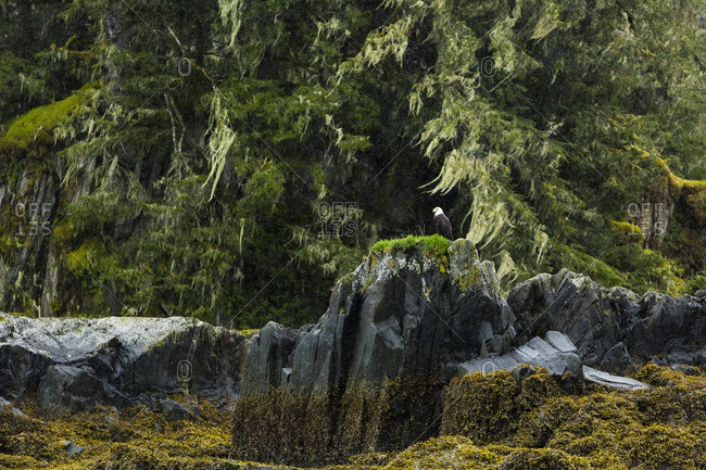 Eagle perched on a rocky outcropping in a forest