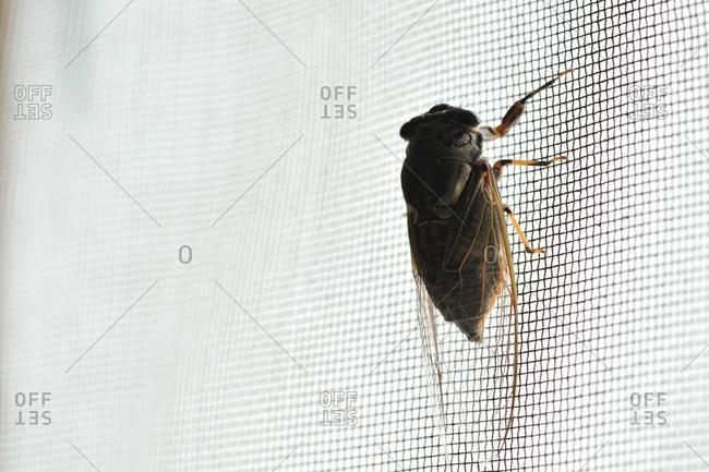 Cicada clinging to netting