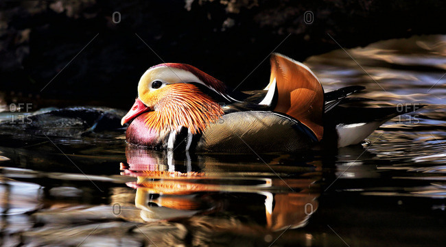 Colorful Mandarin duck in water
