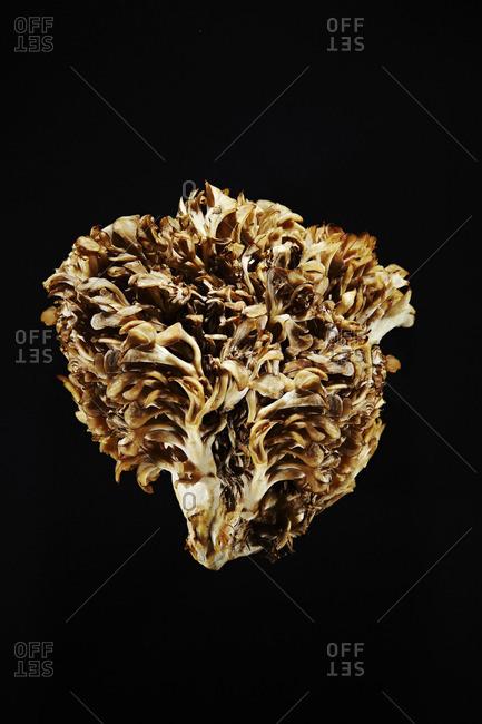 A maitake mushroom cluster