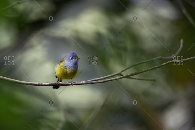 Grey-headed Canary Flycatcher in Tamdao National Park, Vietnam