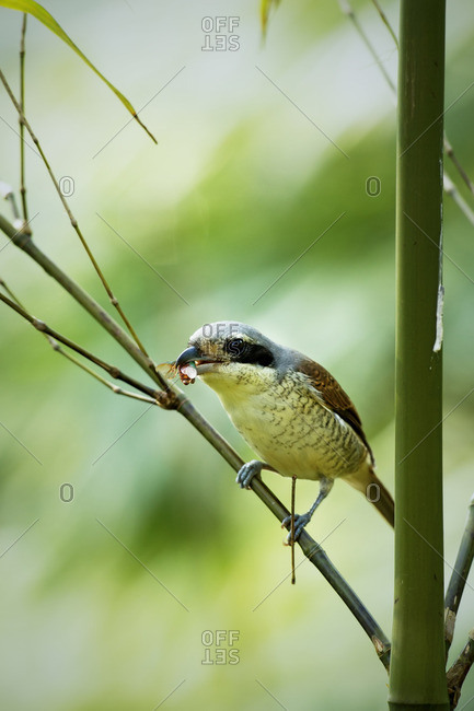 A tiger shrike with an insect in its beak in Tamdao National Park, Vietnam