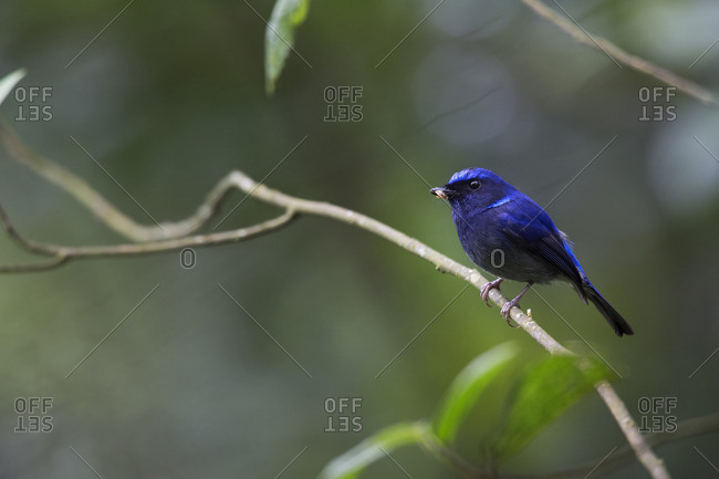 A male small niltava with insect in its beak, Bavi National Park, Vietnam
