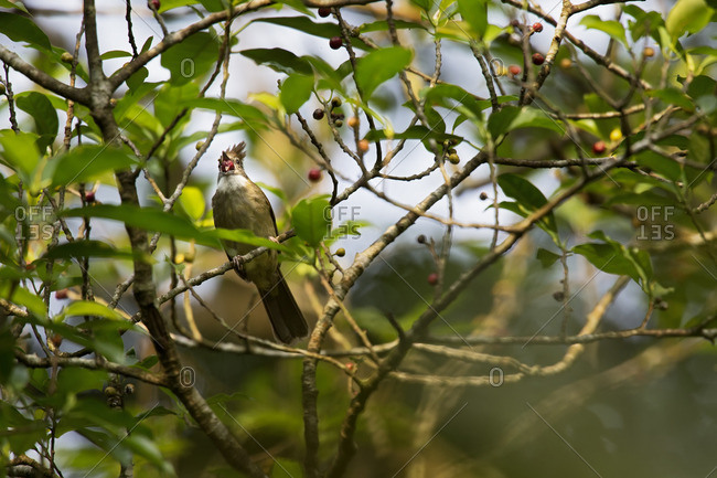 A puff-throated bulbul swallowing fruit, Bavi National Park, Vietnam