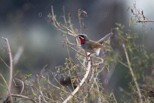 Siberian rubythroat singing before sunset in Tamdao National Park, Vietnam.