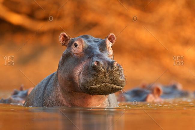 Hippopotamus (Hippopotamus amphibius) rising from lake