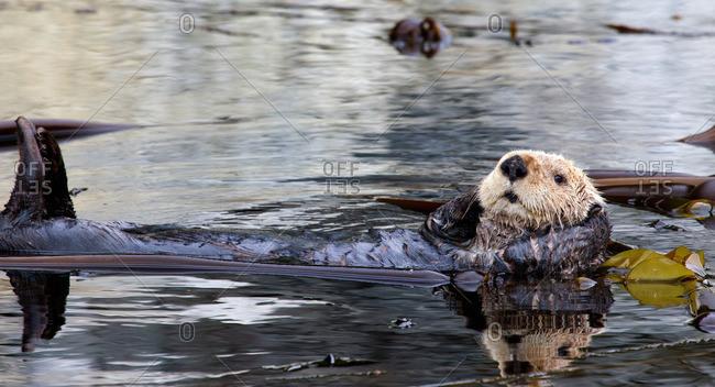 Sea otter resting in Kelp Bed