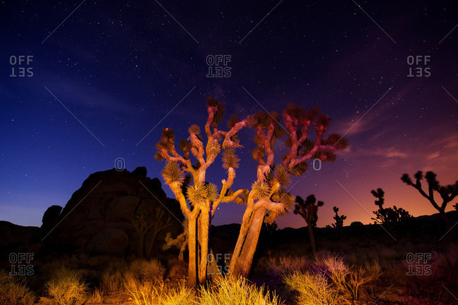 Colorful lights on Joshua Trees at night, Joshua Tree National Park, California, USA
