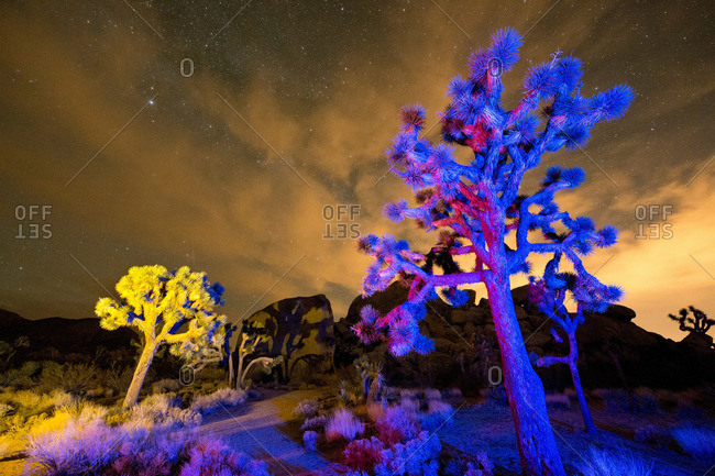 Colorful lights shine on Joshua Trees at night, Joshua Tree National Park, California, USA