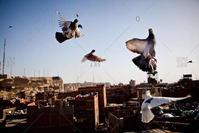 Pigeons are released by their fancier in Manshiyat Nasr, Cairo, Egypt