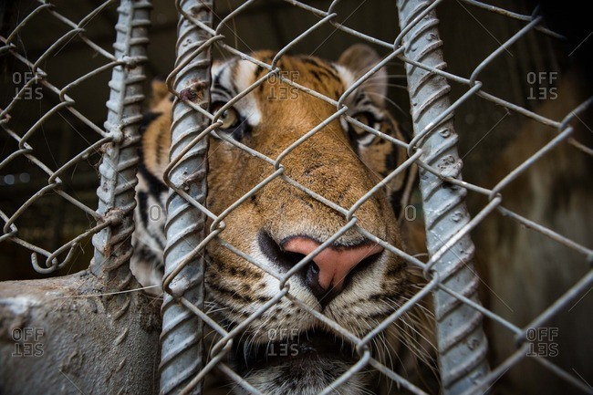 A tiger peers out of an enclosure at the Tiger Temple in Thailand