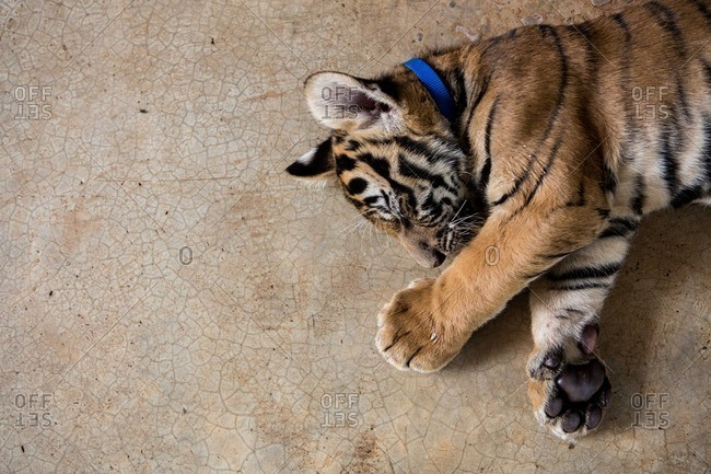 A tiger cub napping at Thailand's Tiger Temple