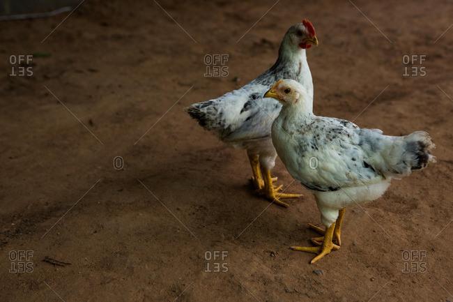 Chickens roam an organic farm in Phitsanulok, Thailand