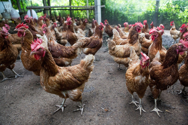 Chickens roam a large coop at an organic farm in remote Thailand