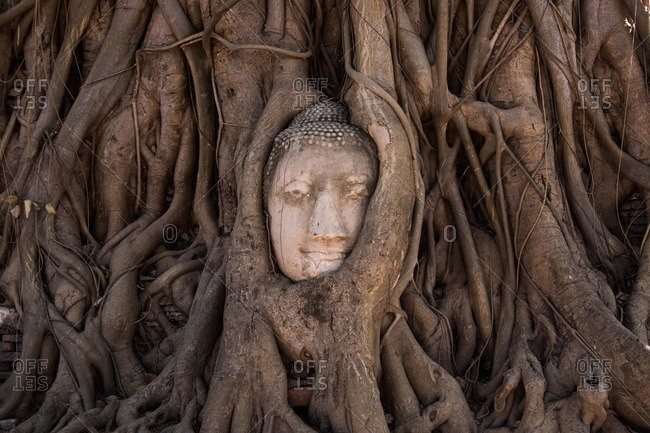 A Buddha head wrapped in tree roots at Wat Mahatat in Ayutthaya, Thailand