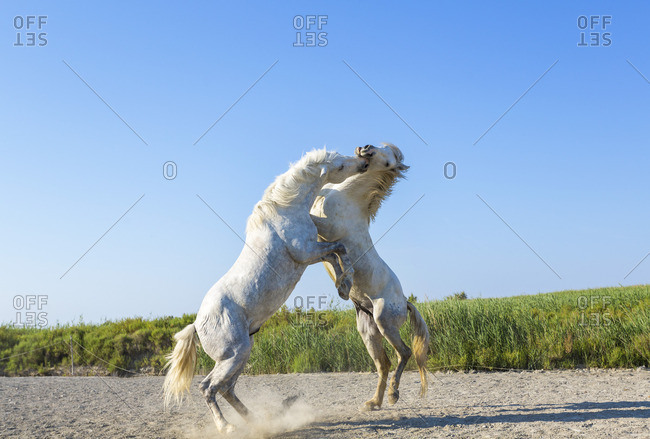 White stallions fighting, Camargue, France