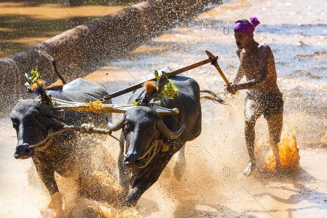 12/14/13: Kambala, traditional buffalo racing, in Kerala, India