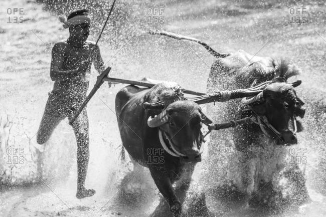 12/14/13: Man racing buffalo in the traditional Kambala, Kerala, India