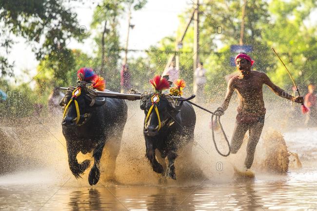 12/15/13: Man racing with his buffalo in Kerala, India