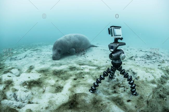 Underwater camera on tripod filming sleeping manatee, Sian Kaan biosphere reserve, Quintana Roo, Mexico