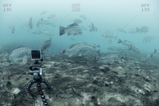 Underwater camera on tripod filming school of cubera snapper (Lutjanus cyanopterus), Sian Kaan biosphere reserve, Quintana Roo, Mexico