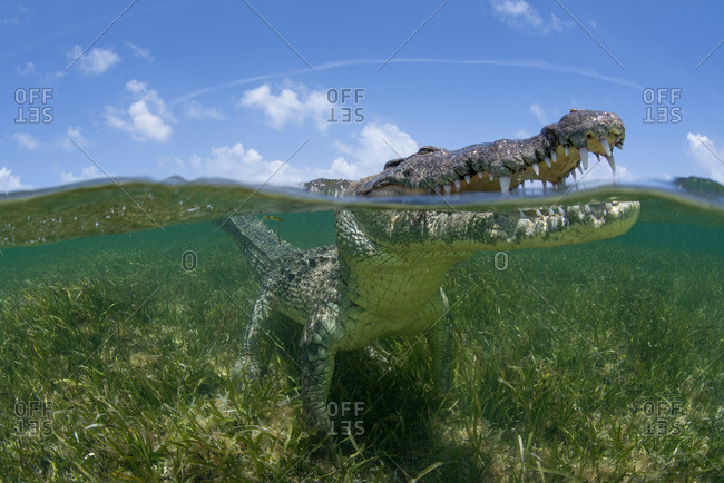 American crocodile (crodoylus acutus) looking out from surface of shallow waters of Chinchorro Atoll Biosphere Reserve, Quintana Roo, Mexico
