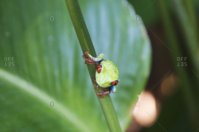 Close-up of tree frog on stem, Costa Rica